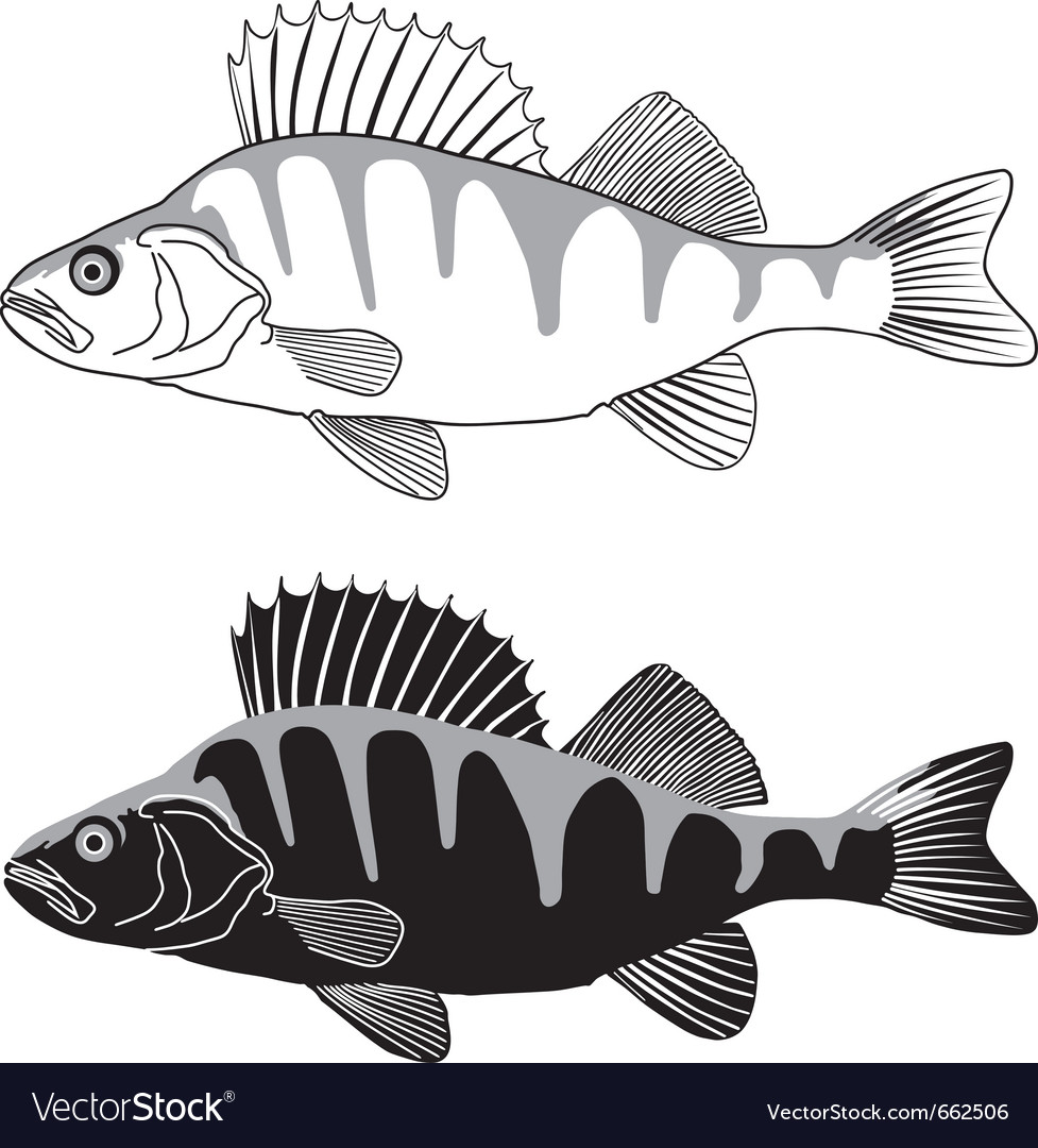 Perch fish vector image