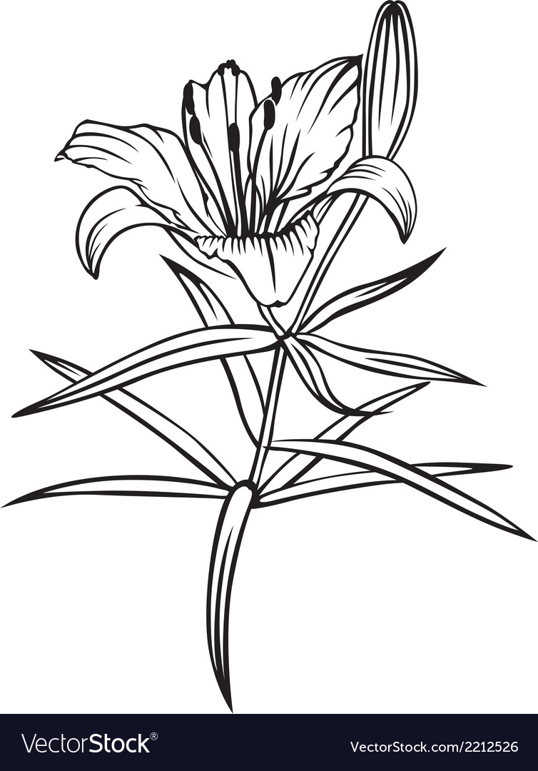 Lily flower royalty free vector image vectorstock lily flower vector image izmirmasajfo