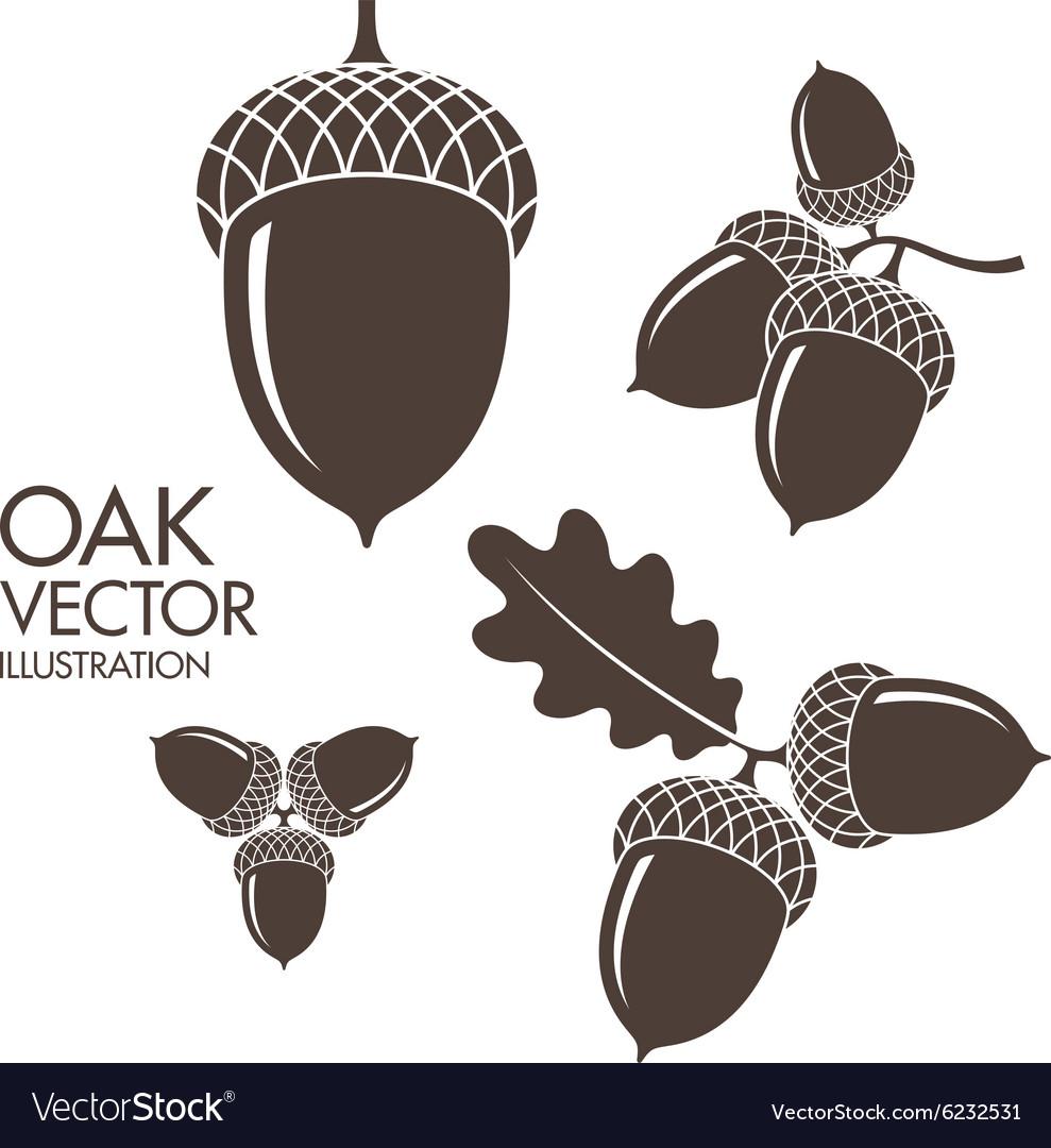 Oak Isolated acorns on white background vector image