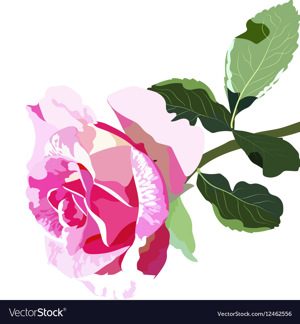 Delicate Pink Rose isolated