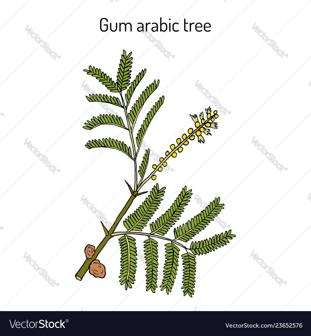 Gum Arabic Tree Acacia Senegal Or Kher