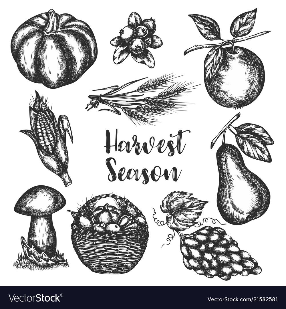 Harvest vegetables hand drawn