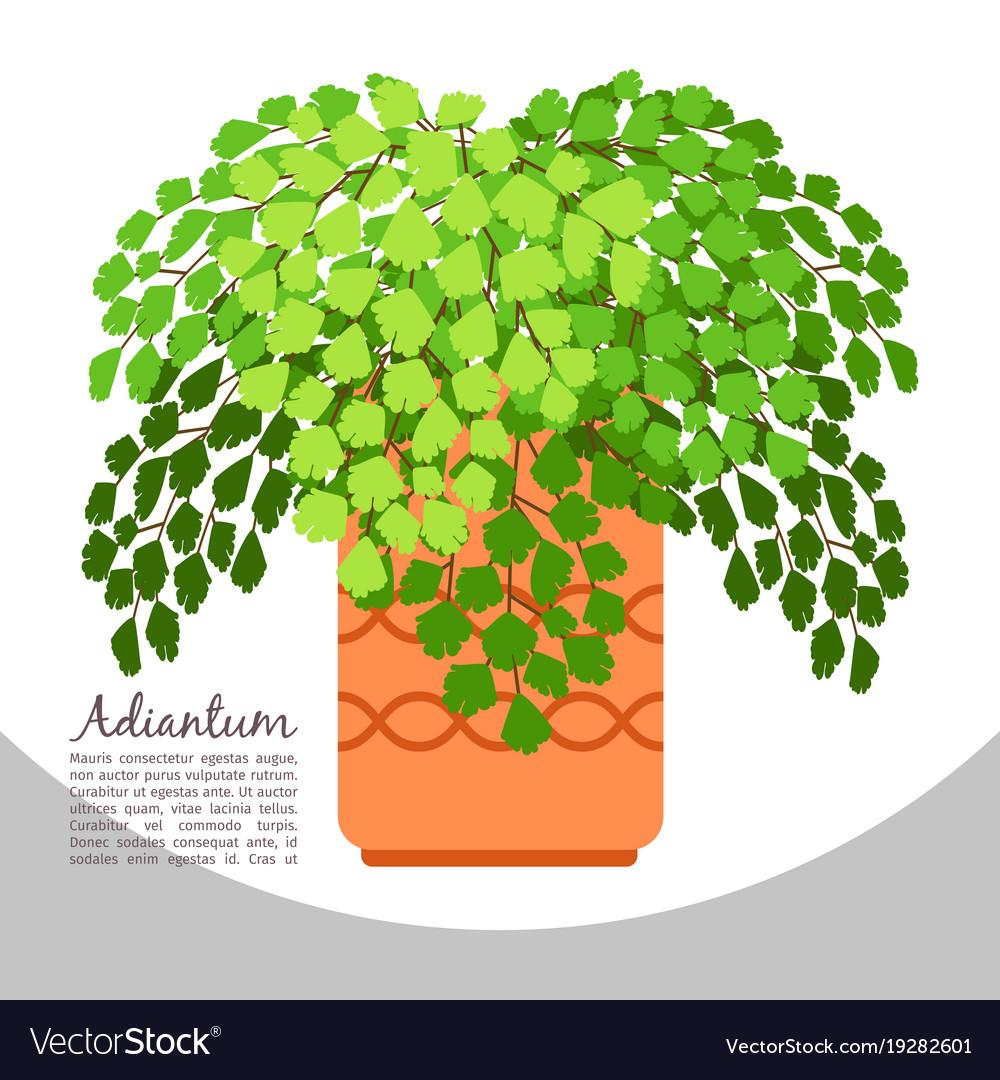 Adiantum indoor plant in pot banner