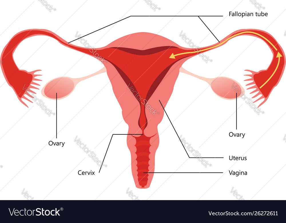 reproductive system diagram on white on