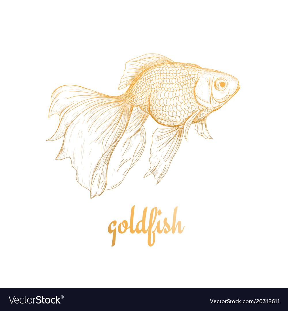 Goldfish drawing sketch