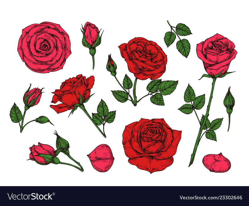 Red rose hand drawn roses garden flowers