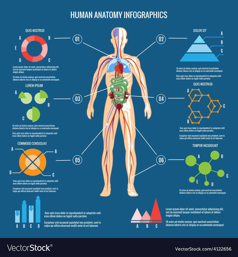 Human Body Anatomy Infographic Design Royalty Free Vector