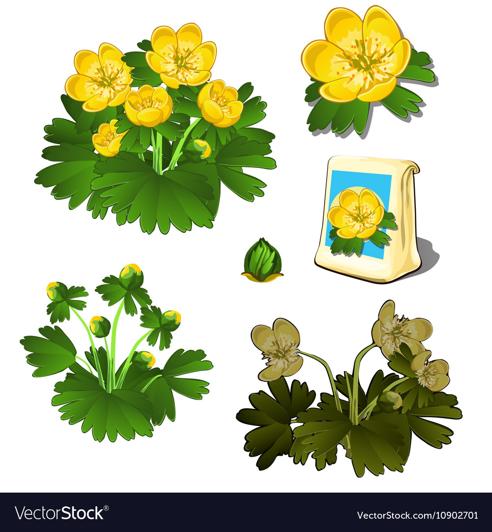 4d1fbdd40f9b2 Seeds in bag and growth stages of yellow flowers Vector Image