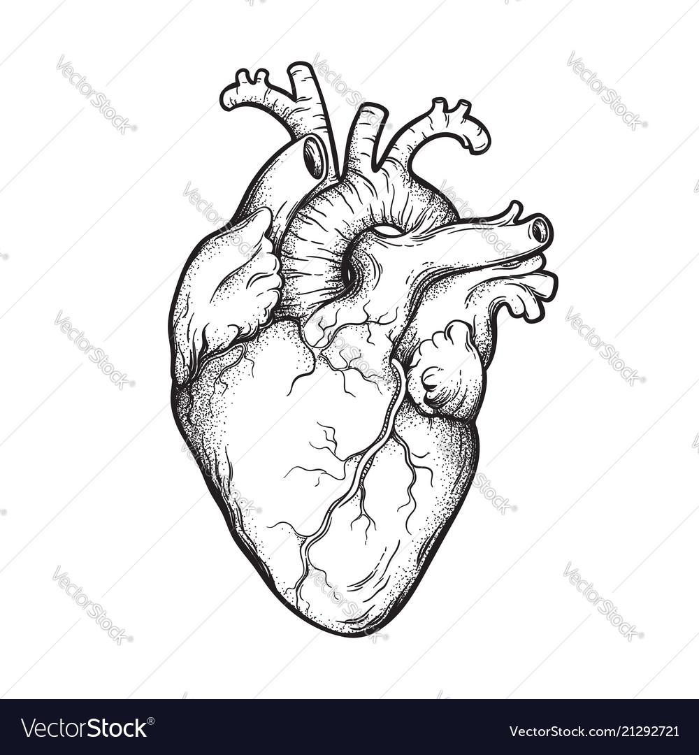 Human heart anatomically correct hand drawn