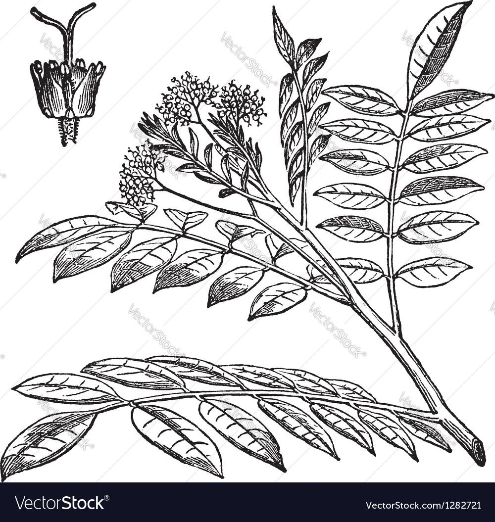Quassia vintage engraving vector image