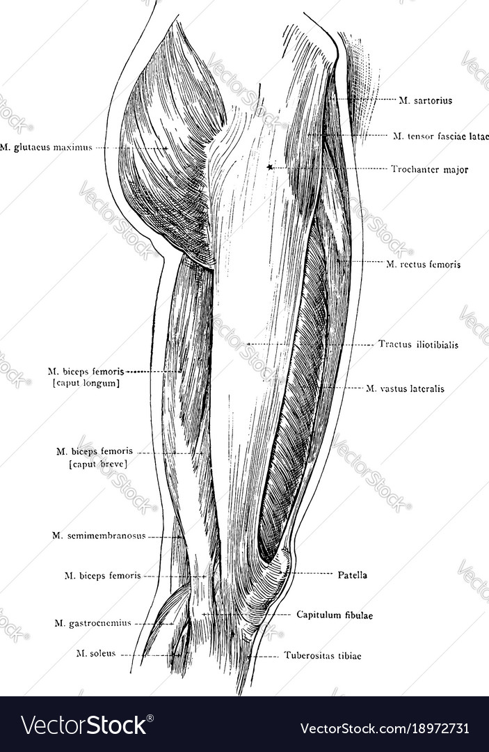 Lateral view of the superficial muscles of the Vector Image
