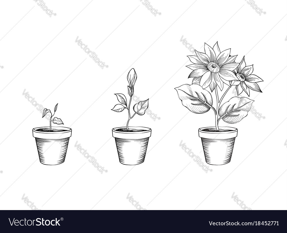 Flower growth set floral pot plant bloom stages