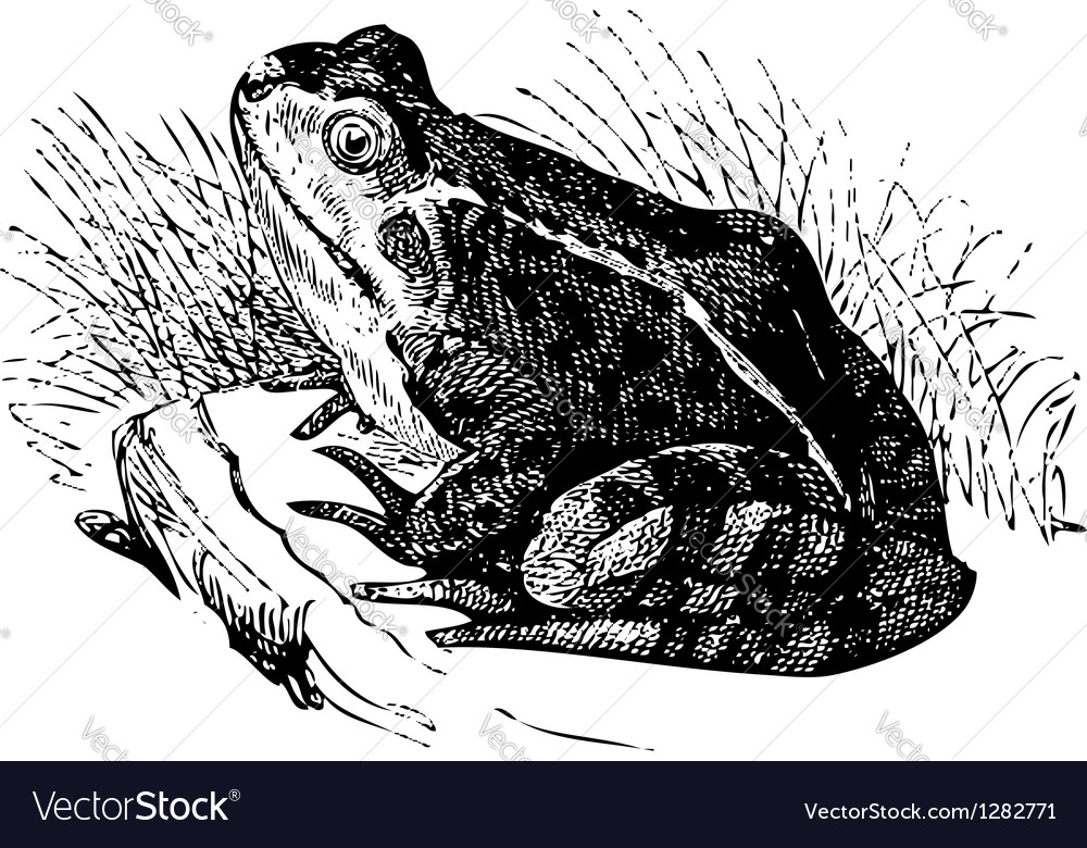 Water frog old