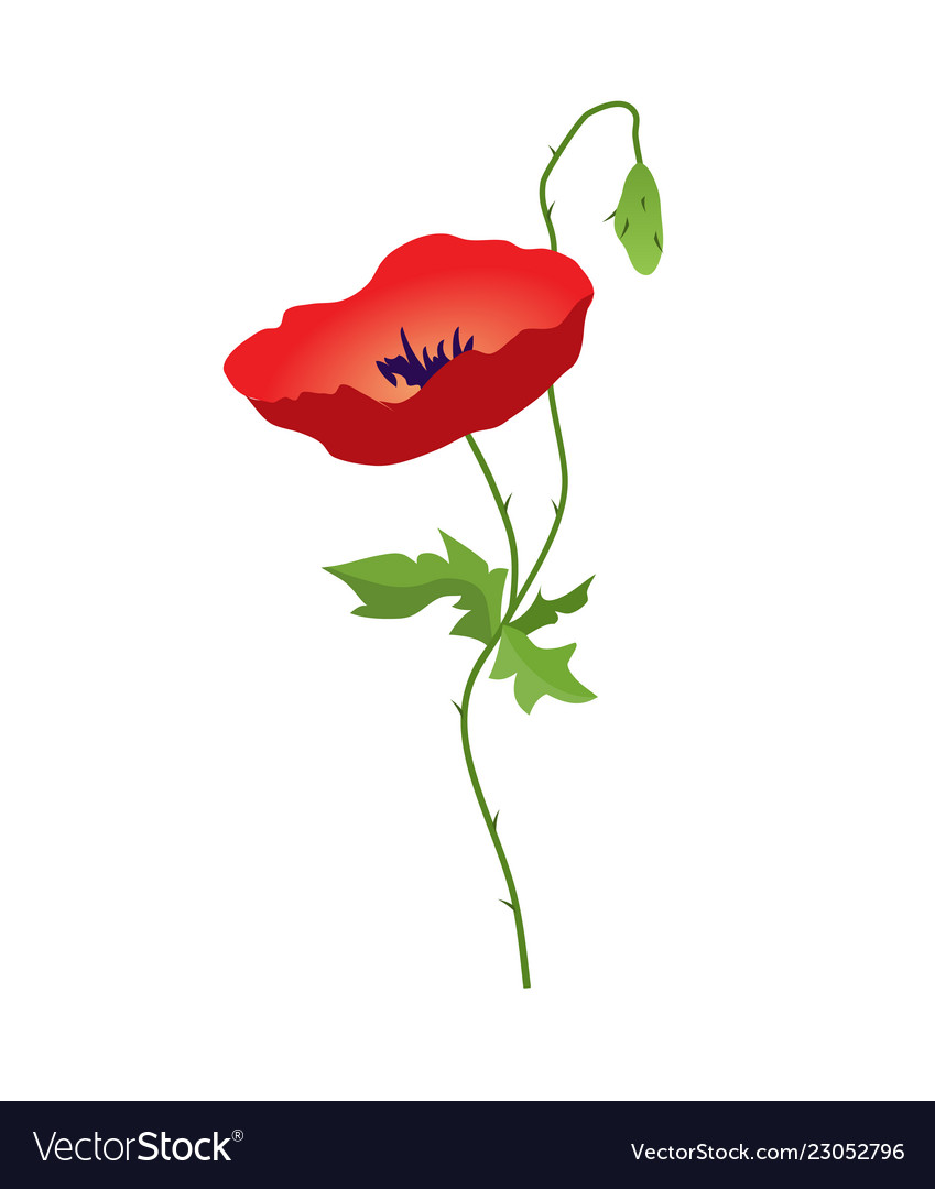 Red Poppy Flower Isolated On White Background Vector Image On Vectorstock