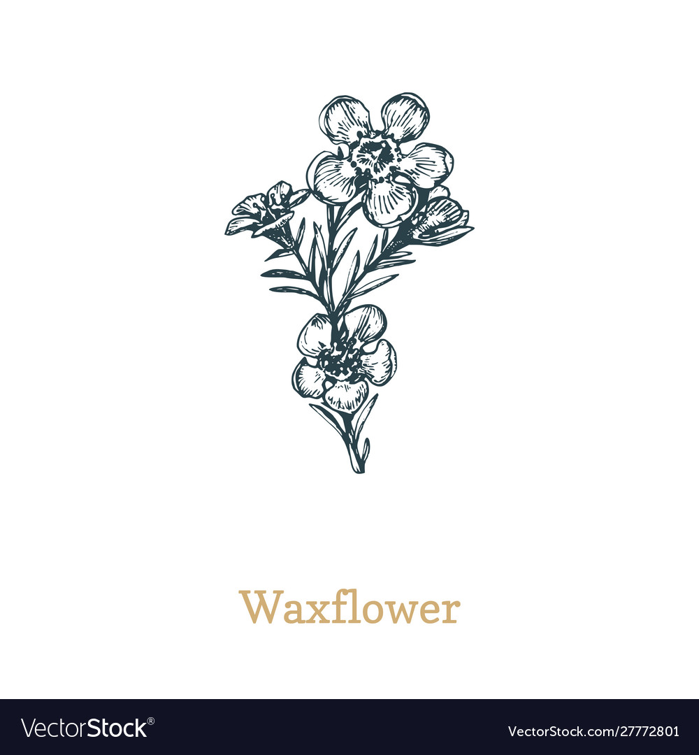 Waxflower drawn sketch of