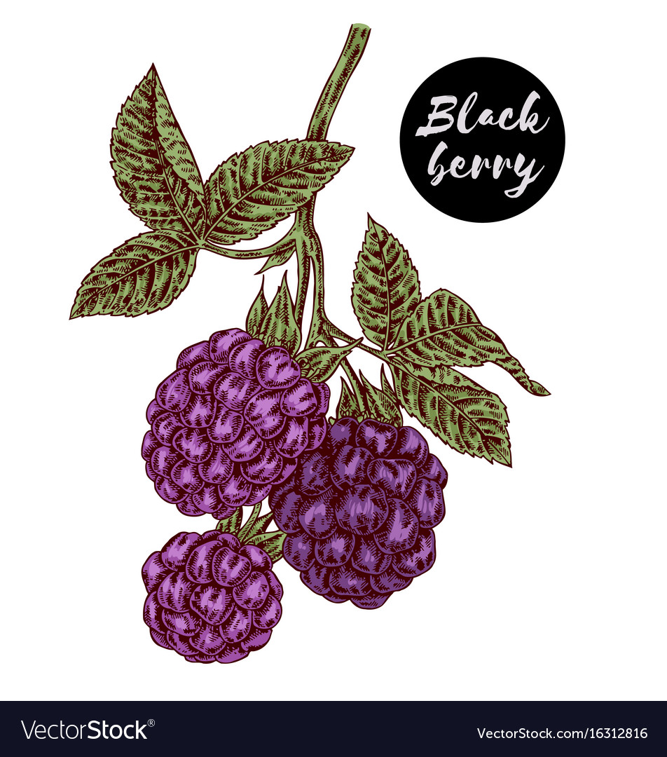 Hand drawn color sketch berries ripe blackberry