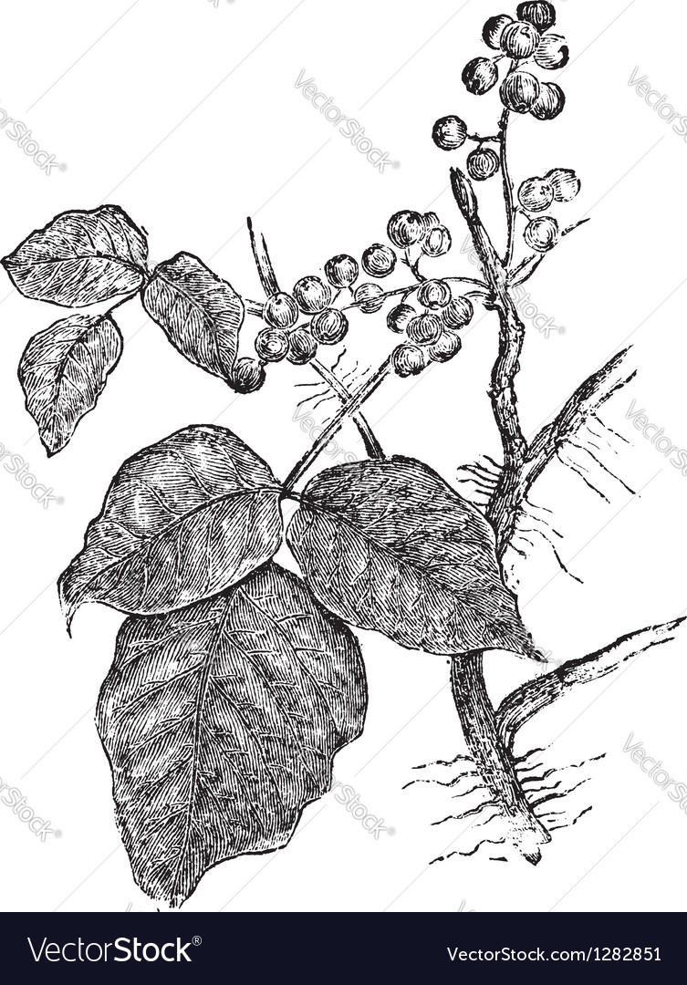 Poison ivy vintage engraving vector image