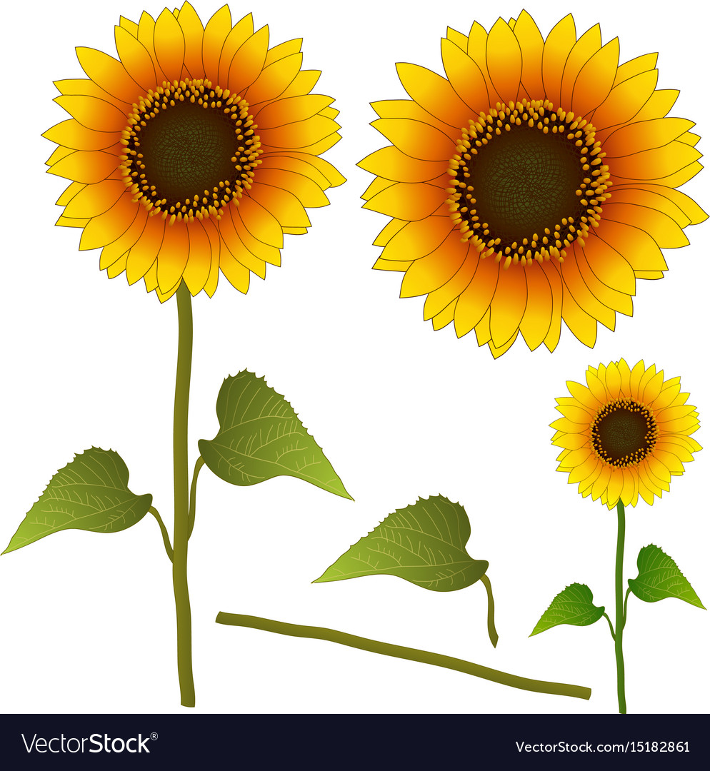 Sunflower or helianthus isolated
