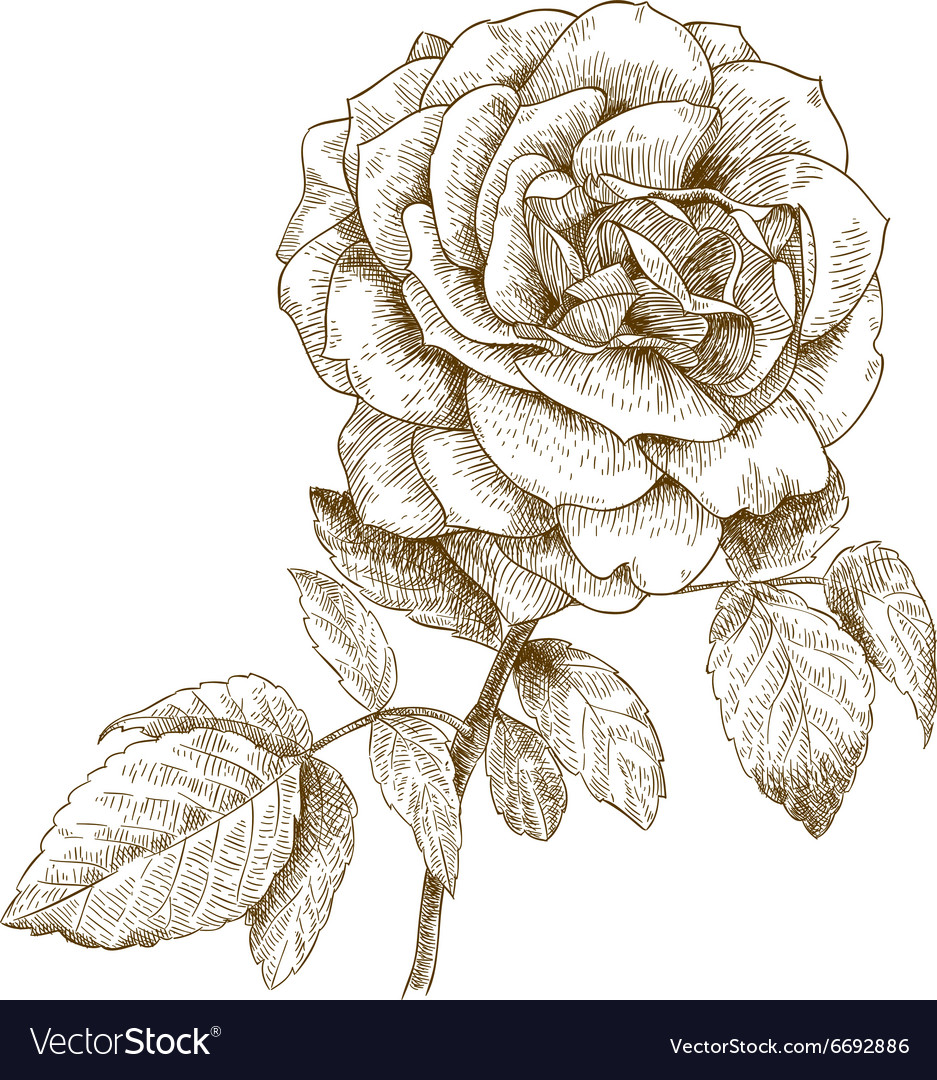 Engraving rose vector image