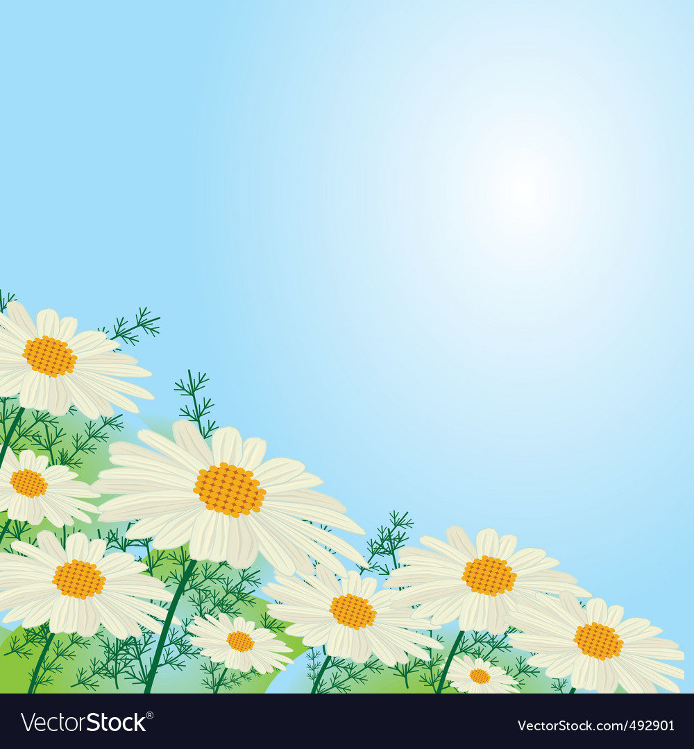 Chamomile flowers against the sky vector