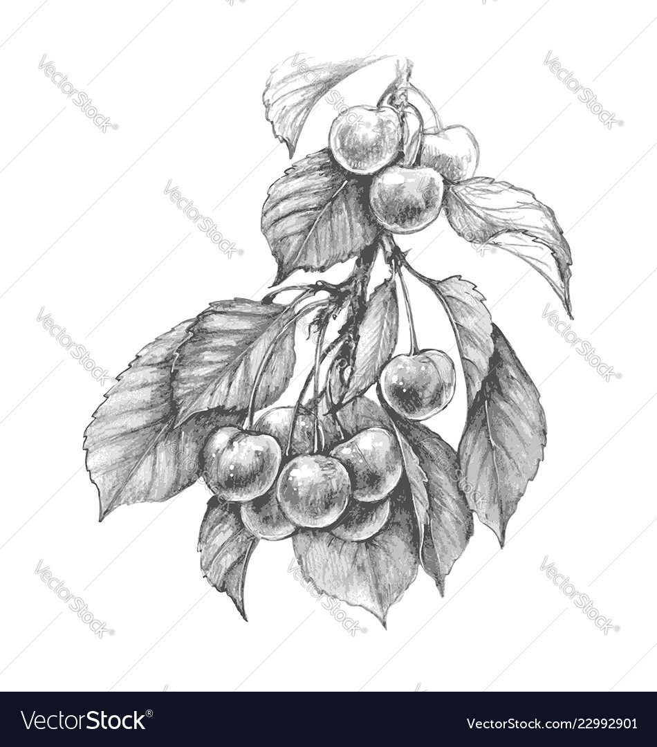 Sweet cherry pencil drawing
