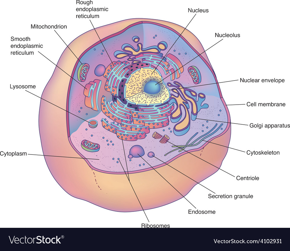 Animal cell diagram royalty free vector image vectorstock animal cell diagram vector image ccuart Images