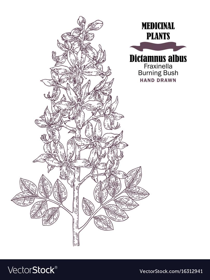 Hand drawn sketch flowers of wild plant diptam or