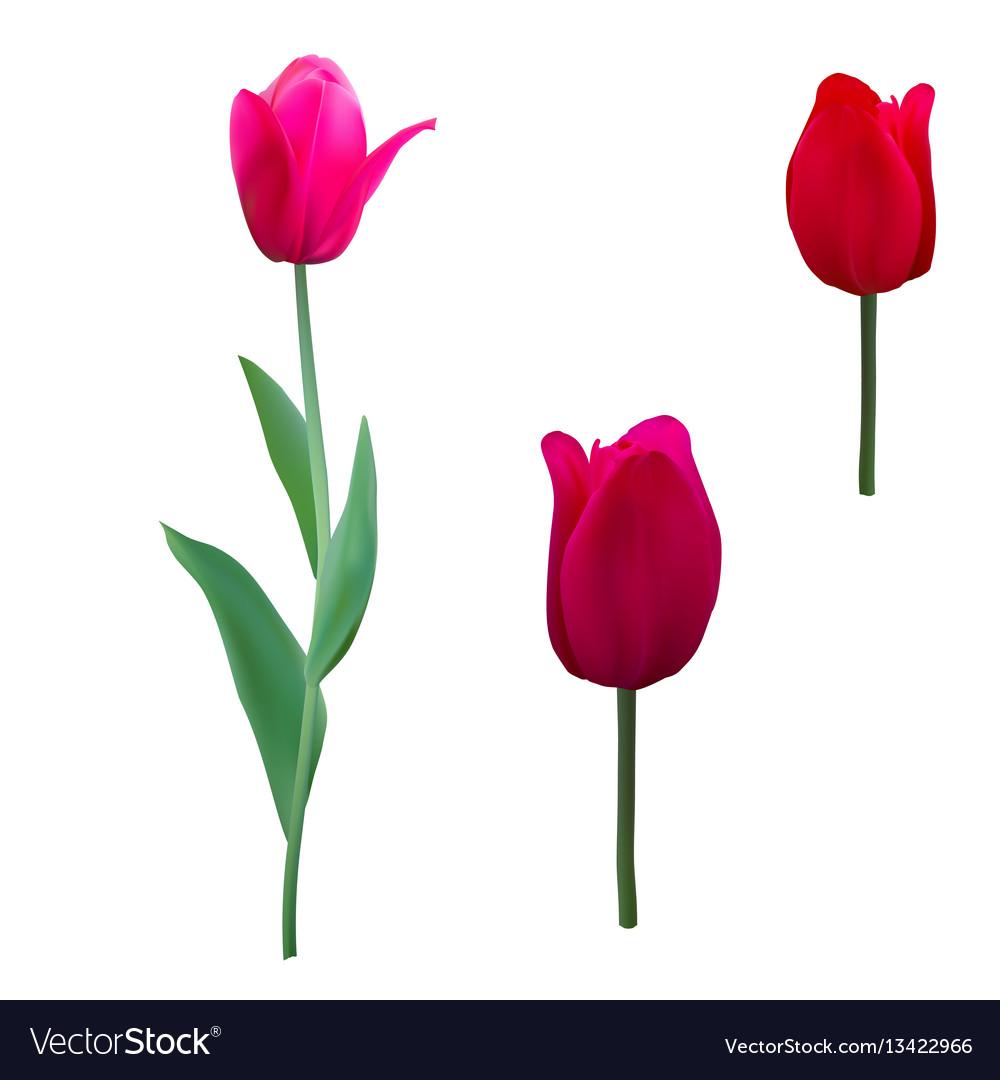 Tulips isolated on white background close up