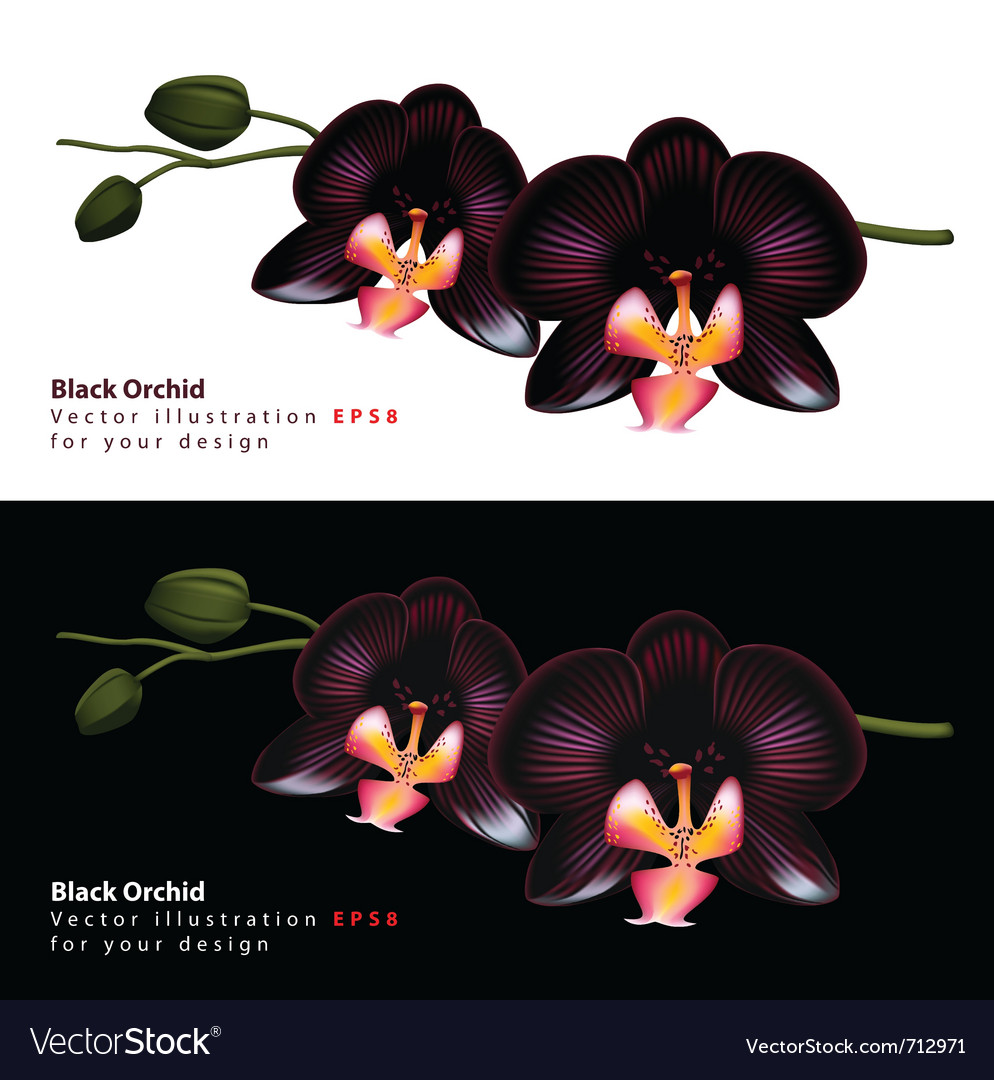 Black Orchid Background Royalty Free Vector Image