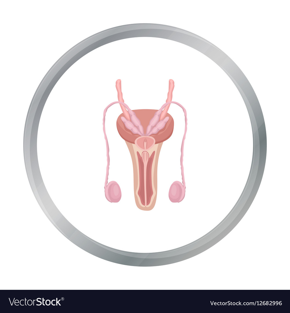 Male Reproductive System Icon In Cartoon Style Vector Image