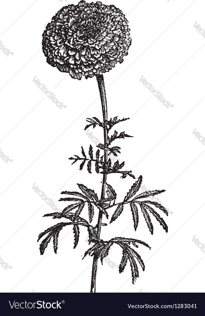 Vintage Mexican Marigold vector image