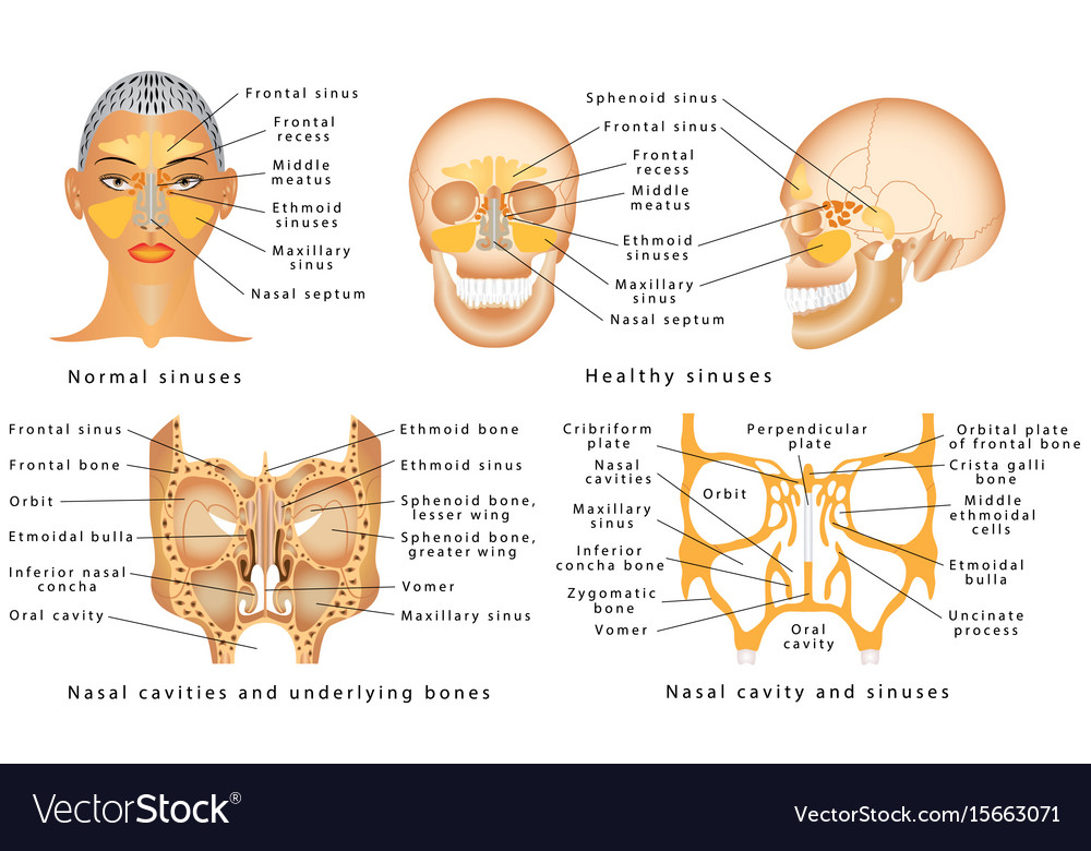 Sinuses of nose Royalty Free Vector Image - VectorStock
