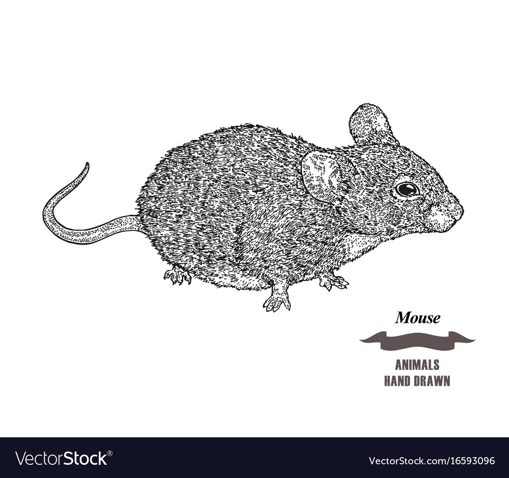 Hand drawn mouse or rat animal black ink sketch