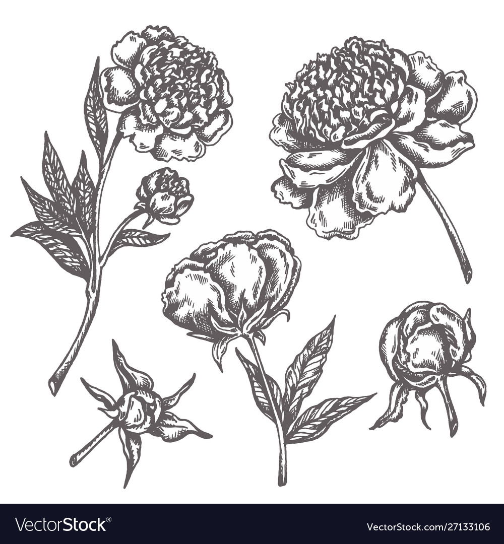 Peony flower drawing sketch floral botany