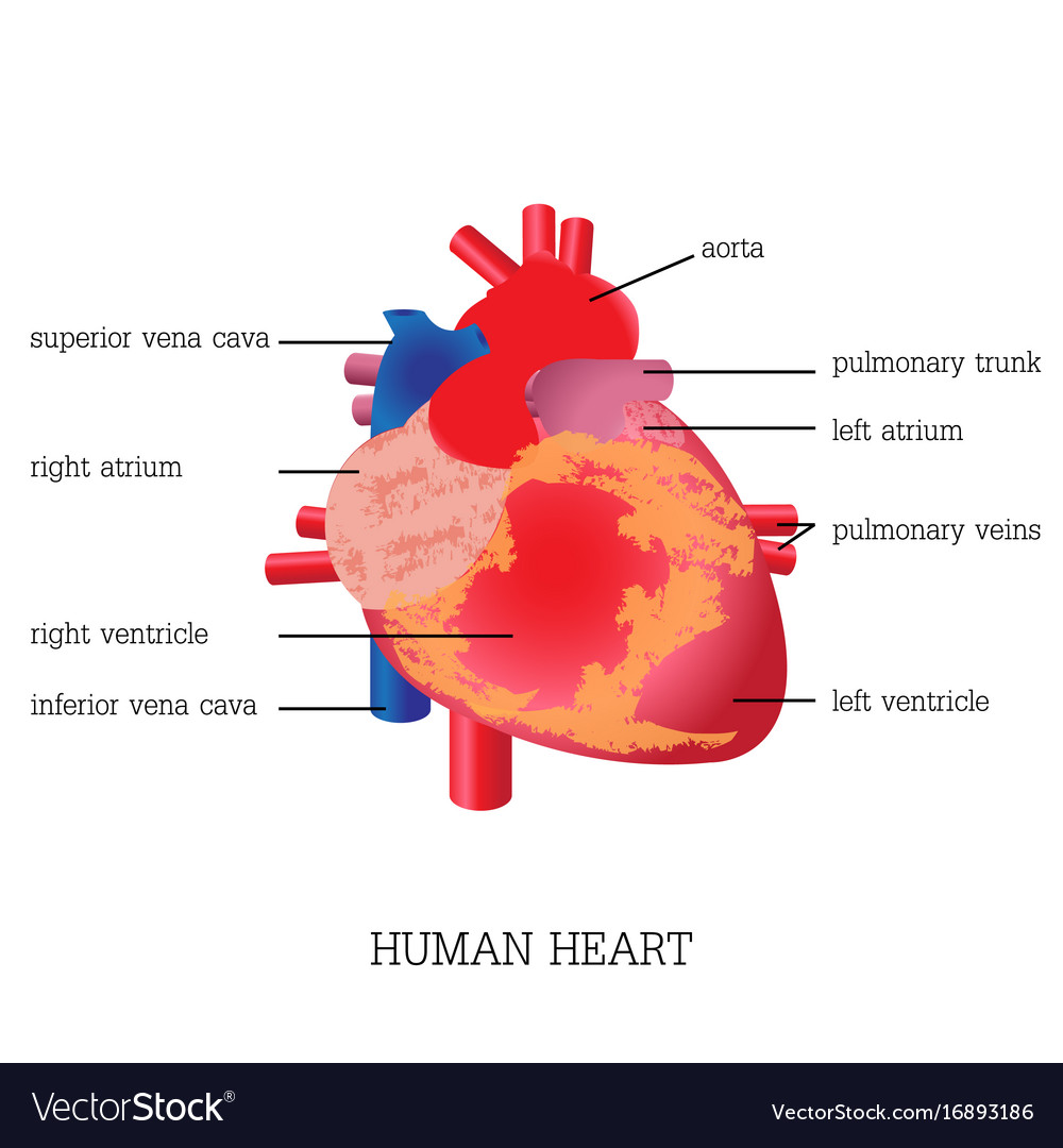 Structure and function of human heart system