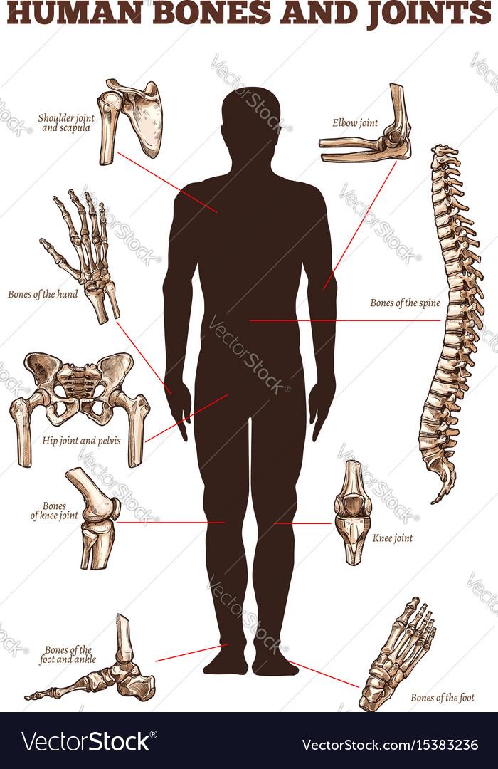 Medical poster of human bones joints royalty free vector medical poster of human bones joints vector image ccuart Choice Image