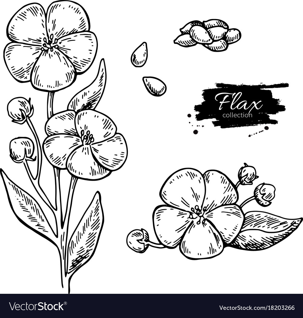 Flax flower and seed superfood drawing set