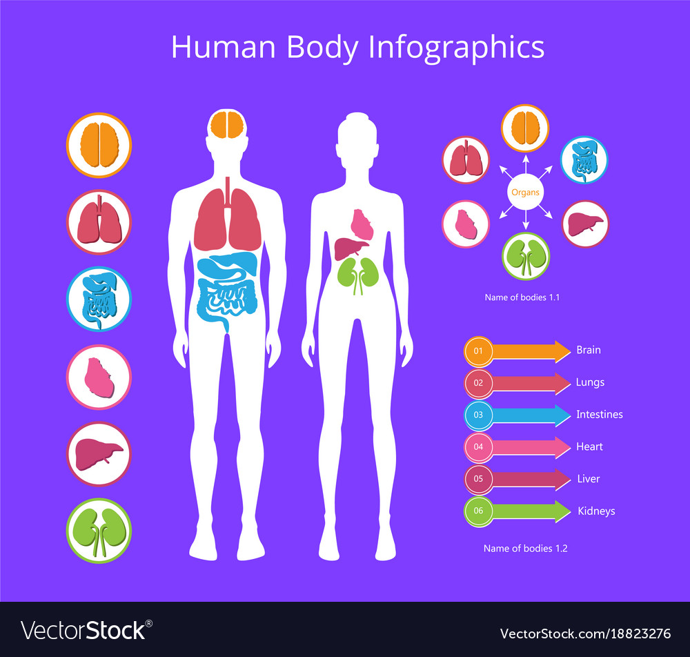 Human body infographic on Royalty Free Vector Image