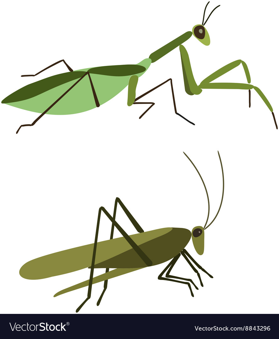 Mantis and grasshopper isolated