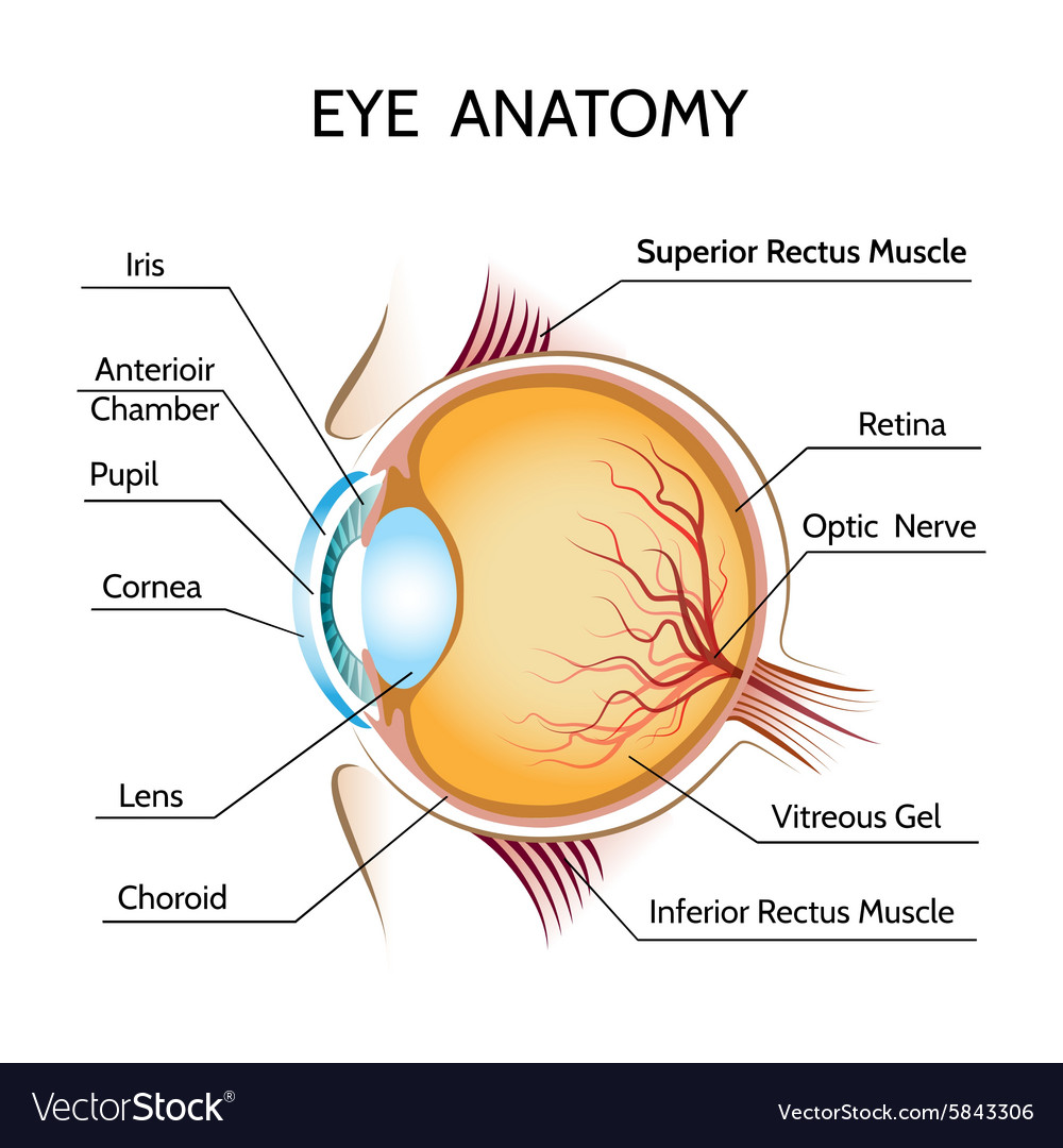 eye anatomy royalty free vector image vectorstock