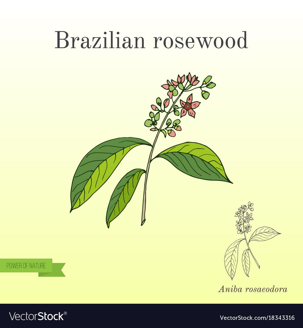 Aniba rosaeodora or brazilian rosewood or
