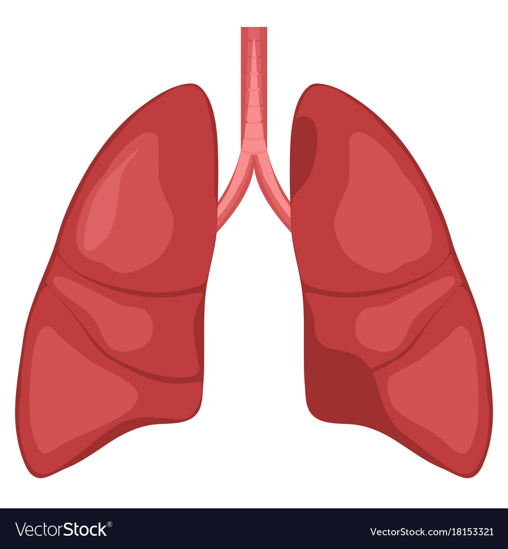 Human Lung Anatomy Diagram Royalty Free Vector Image