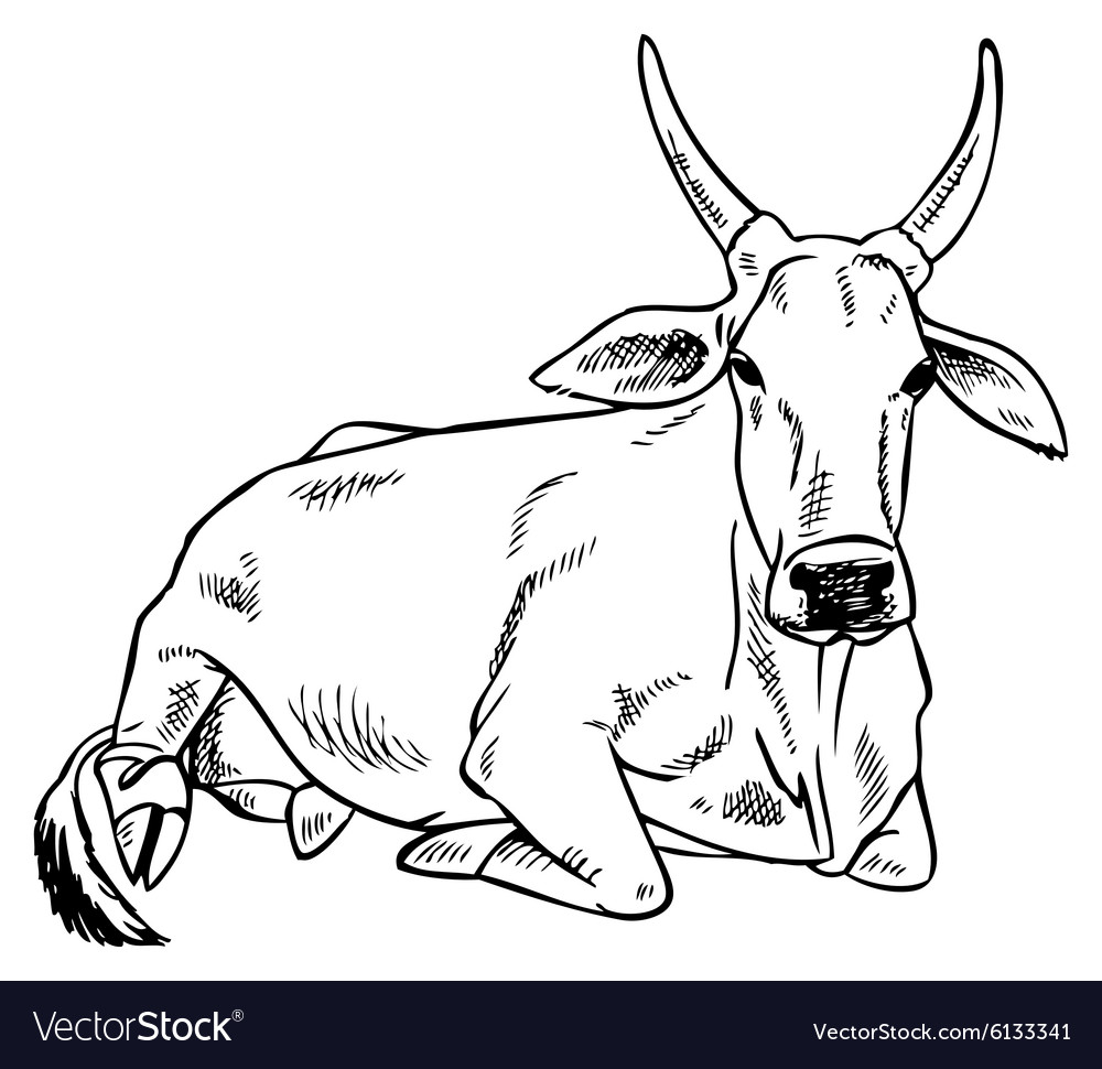 Zebu cow image