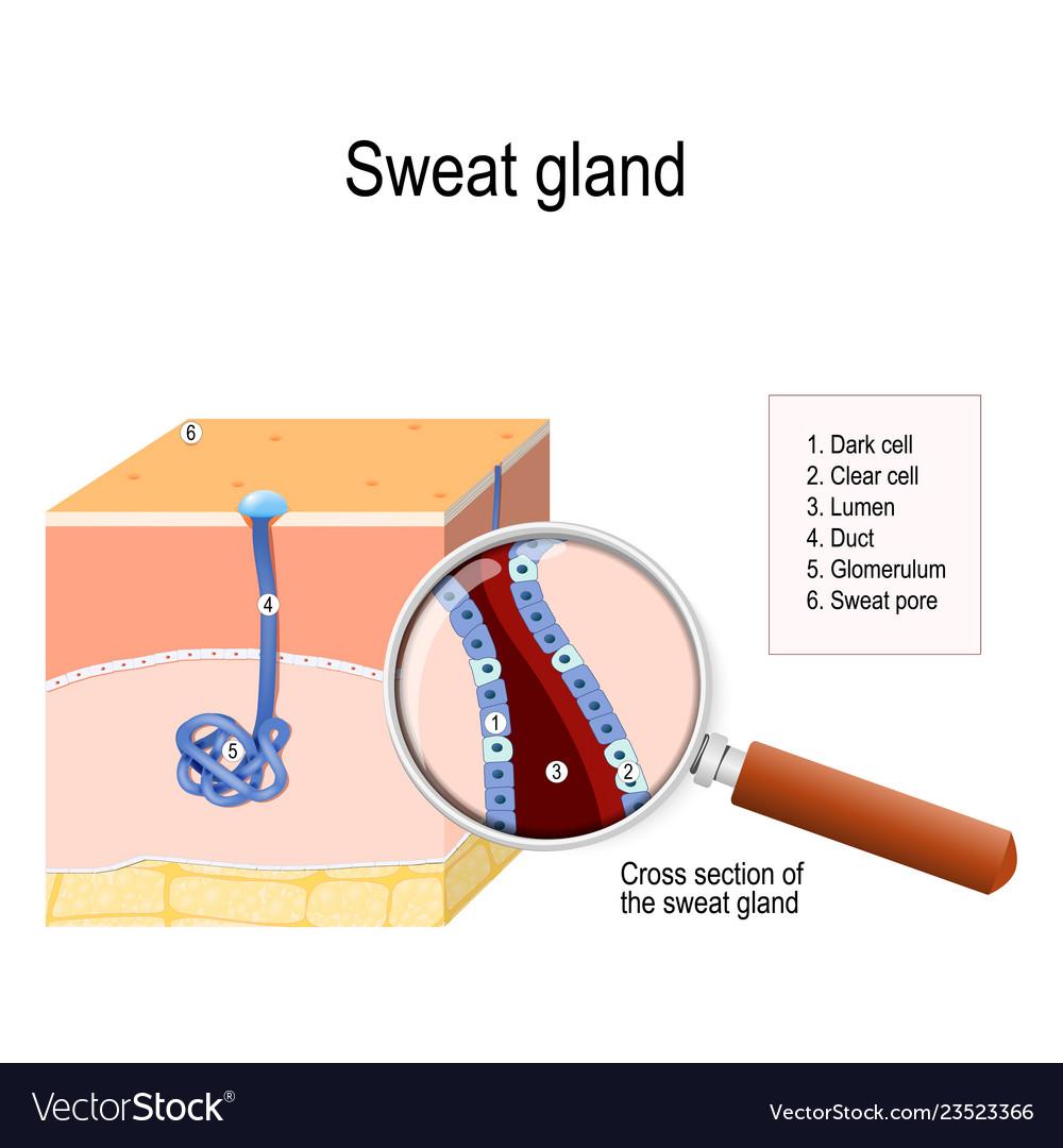 Sweat Gland Royalty Free Vector Image Vectorstock