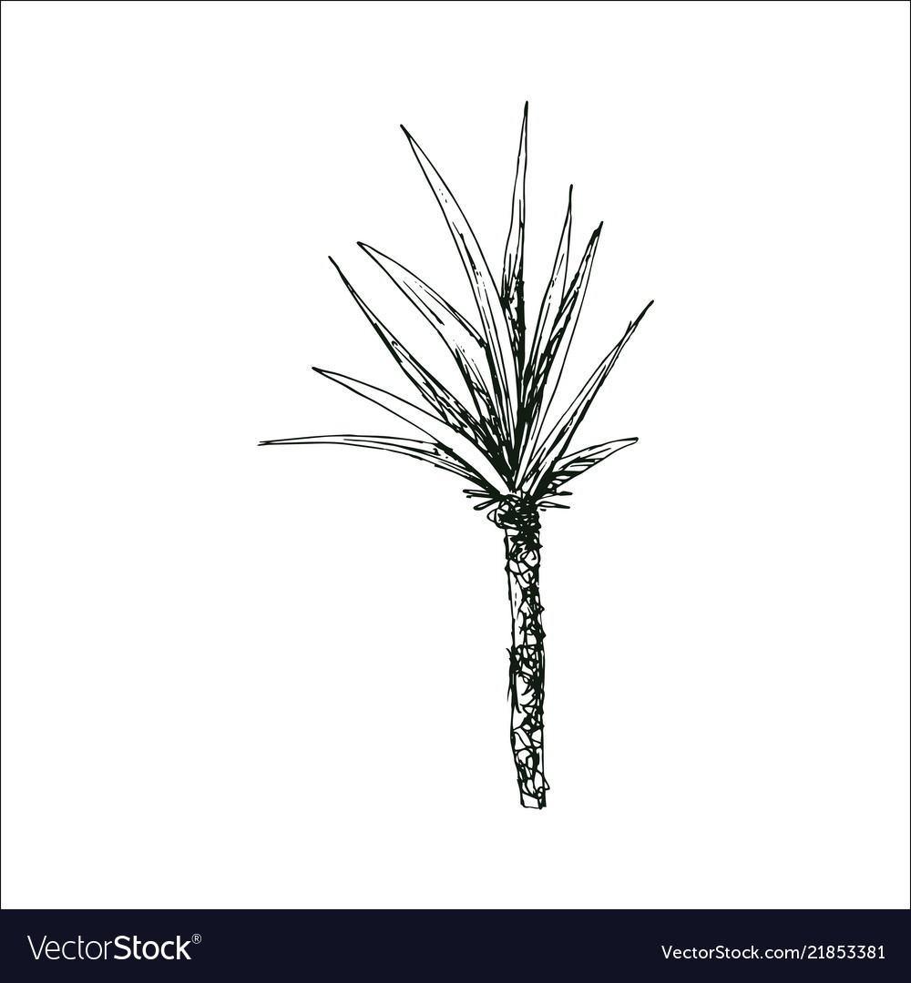 Coconut palm sketch or queen palmae with leaves