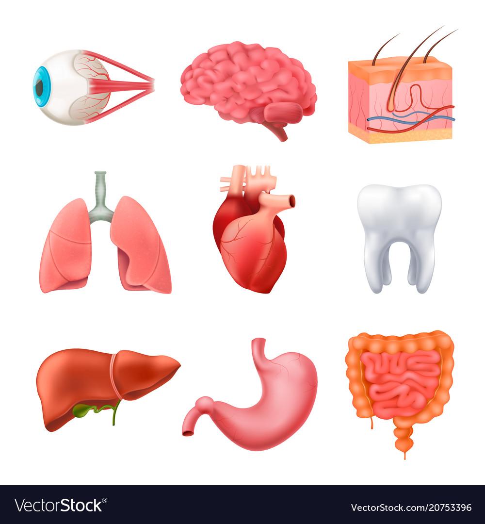 Human Organs Anatomy Realistic Set Royalty Free Vector Image