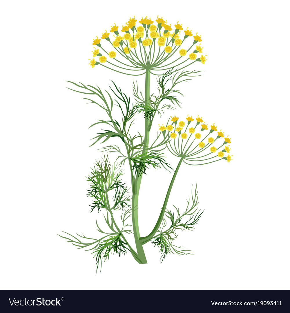 Dill Herb With Small Yellow Bloom And Green Stem Vector Image