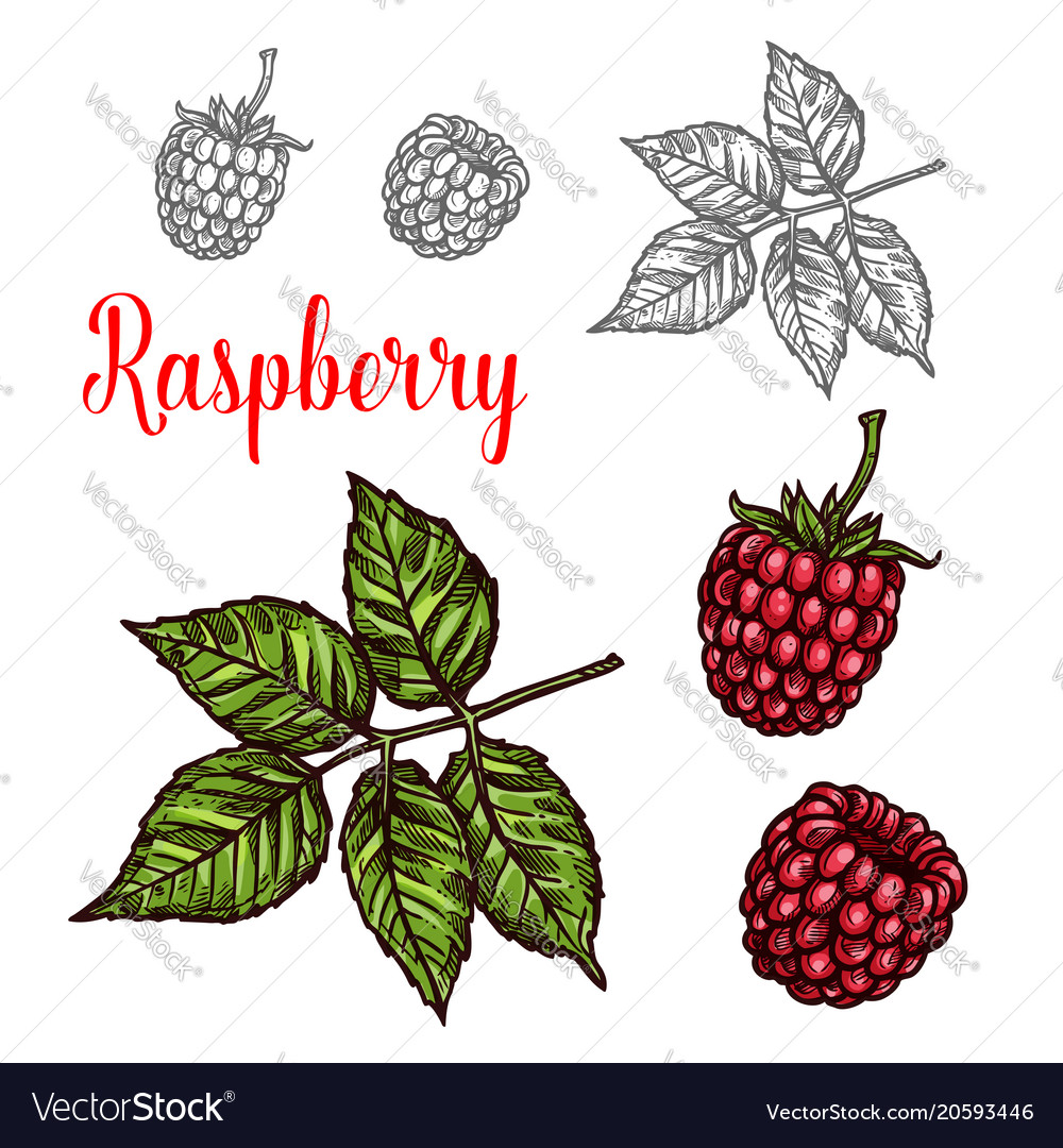 Raspberry fruit sketch of red berry and green leaf
