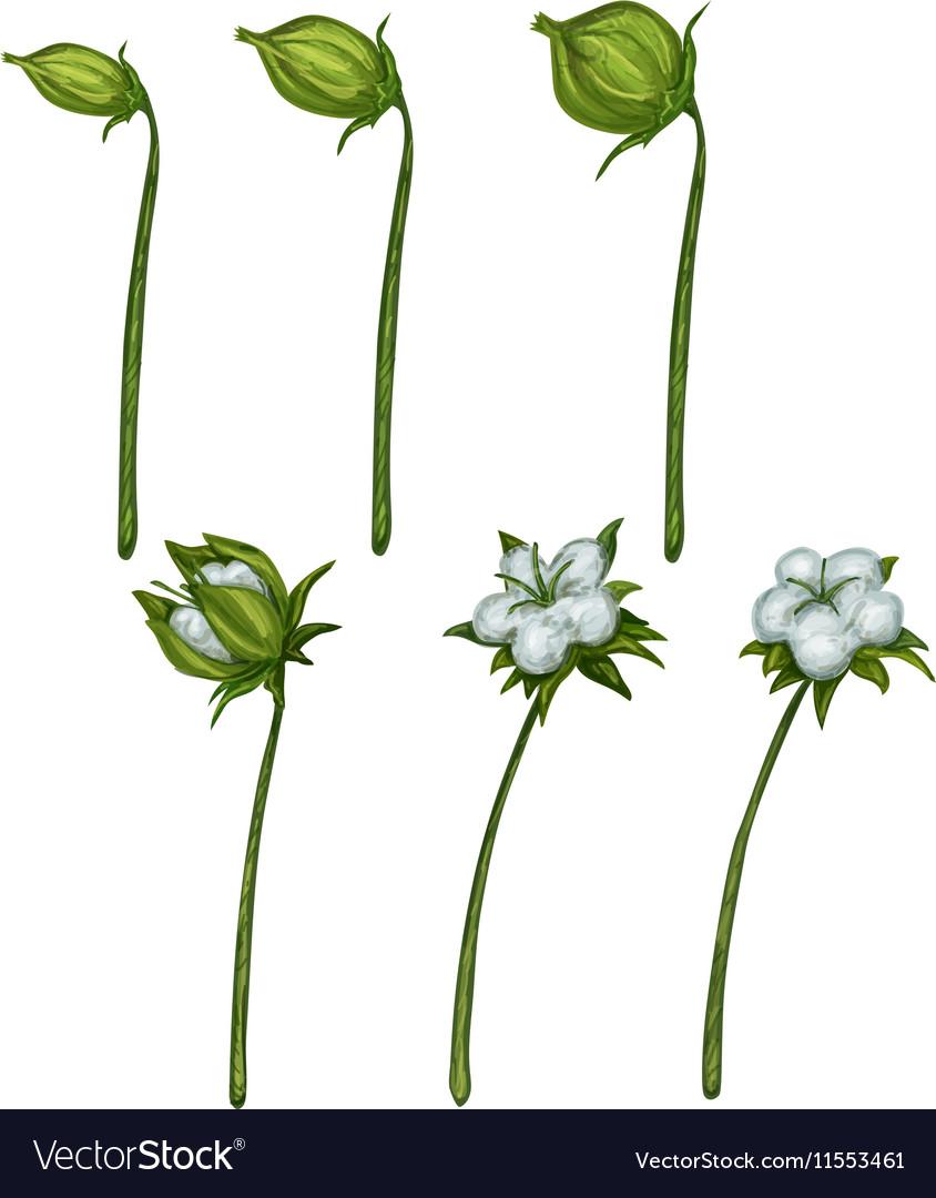Cotton plant blossom photo-realistic in
