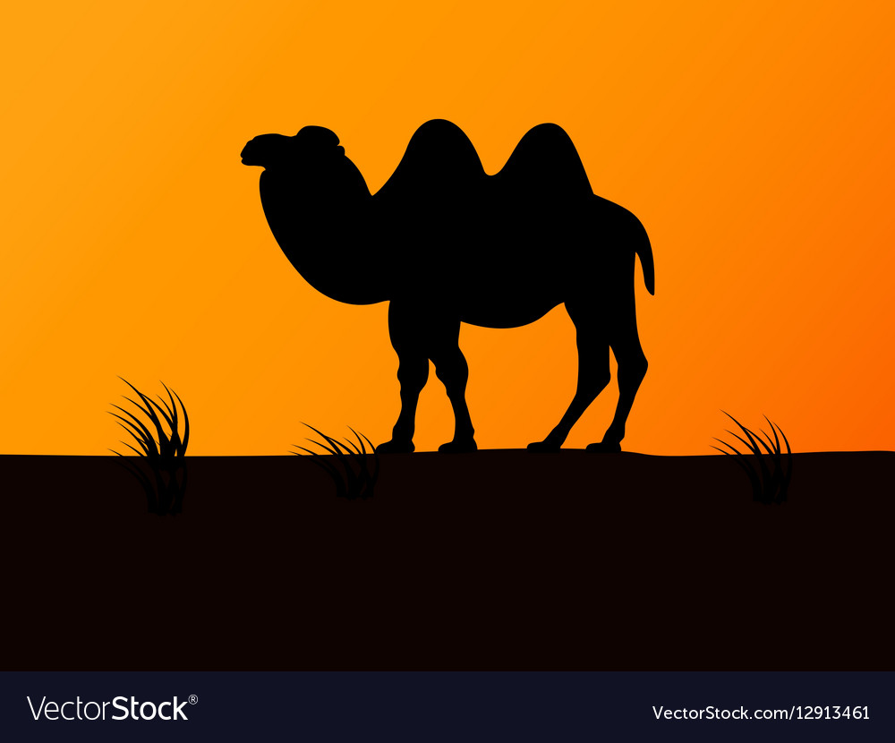 Silhouette camel on the background sunset